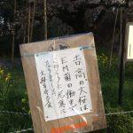 ゼロ磁場の大桜